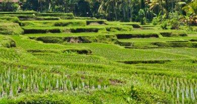 Reisfelder in Indonesien