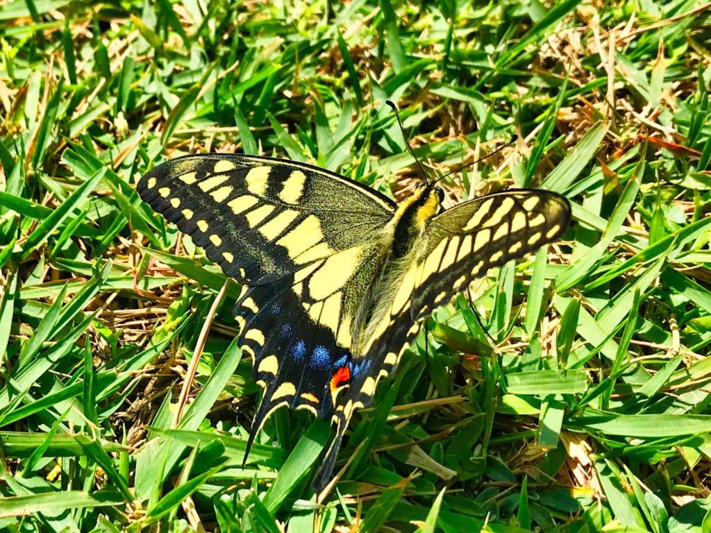 Viele Schmetterlinge überwintern in Mexiko